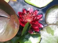 Нимфея цветет
