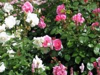 Питомник Савватеевых. Розы в цветнике