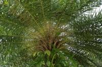 Веер из пальмы