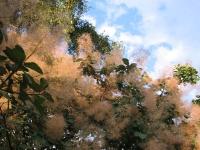 Воздушные соцветия скумпии кожевенной