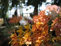 Зимний фестиваль орхидей