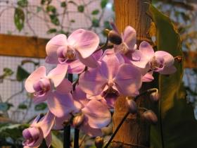 Фестиваль орхидей в Аптекарском огороде